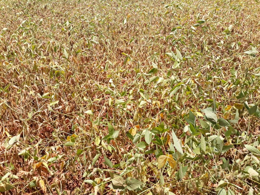 Lavoura de soja com perdas devido ao clima quente na região de Orizona (GO)