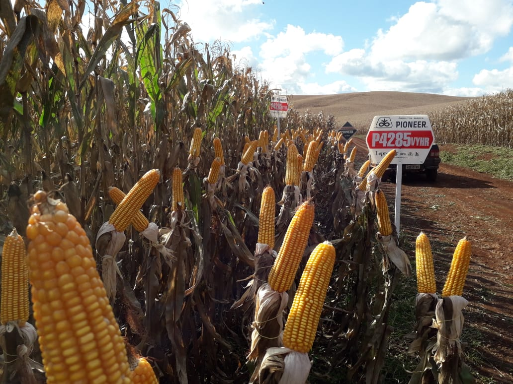 Área de milho safrinha em Mariópolis (PR).Envio de Alison Andreola Bortolotto ATV Pioneer sementes