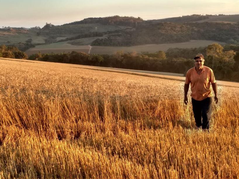 Colhendo trigo em Piedade (SP).