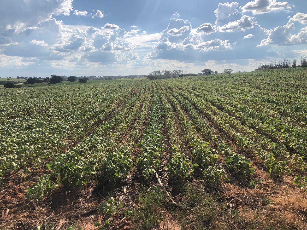 Fechamento de plantio de soja TMG com 110 dias em Meridiano (SP)