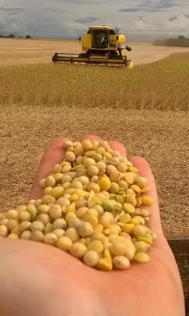 Imagem do dia - Colheita da soja em Juranda (PR), no sítio São José. Envio de Vagner Raimundo Vergutz