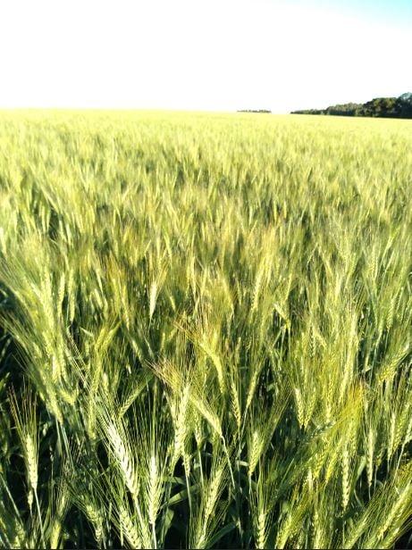 Trigo variedade: ORS VINTECINCO em Prudentópolis (PR). Envio do técnico agrícola Gabriel Klos