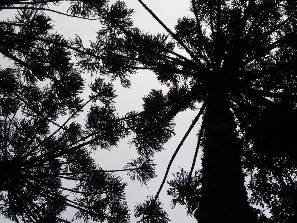 Floresta de araucárias em Itaiopolis (SC). Envio de Paulo Marcelo