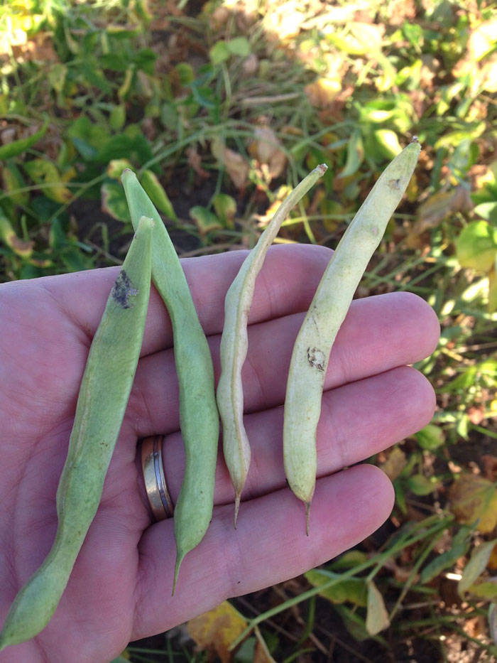 Fotos das lavouras de soja na região de Unaí (MG). Imagens enviadas por produtores rurais.