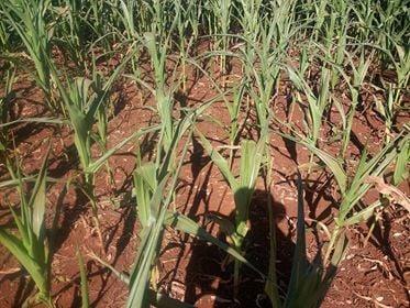 Situação crítica no milho safrinha em Ubiratã (PR). Envio de Geovani Salvetti
