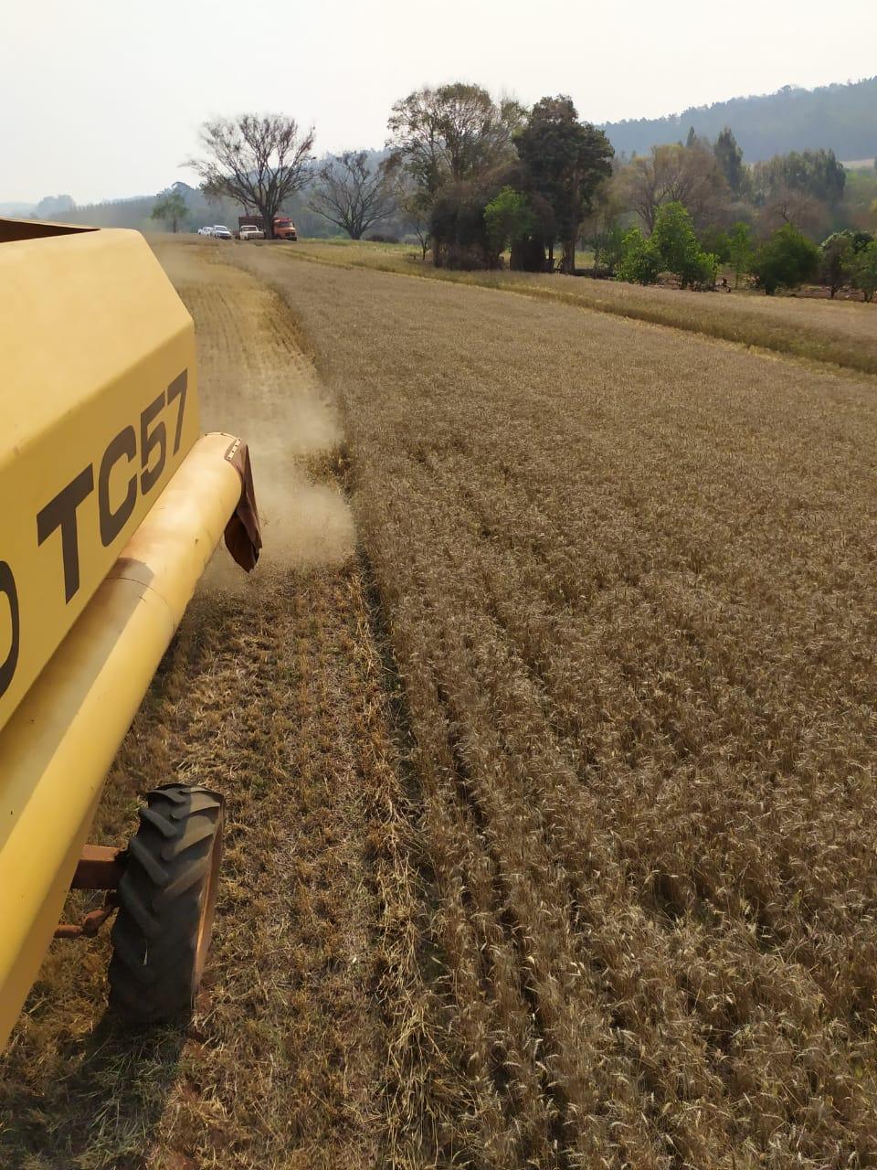 Colheita do trigo em Cascavel (PR). Envio do Eng. Agronomo Rafael Henrique
