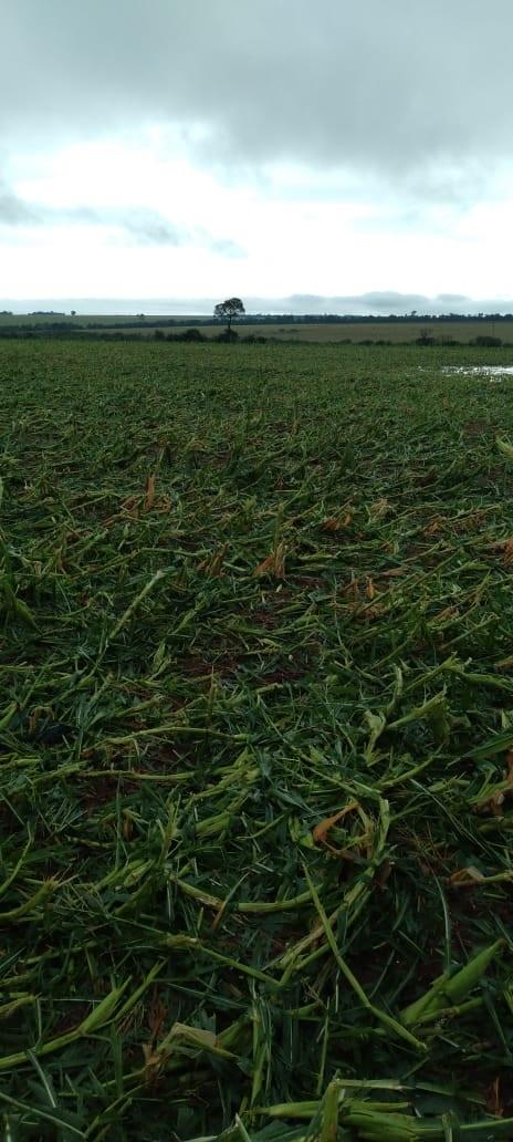 Granizo lavoura de milho em Naviraí/MS