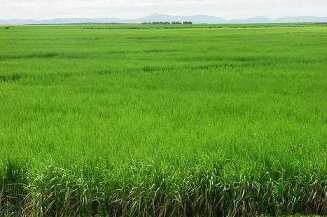 Plantio de cana de açúcar em Juazeiro (BA). Envio de Arielson Bezerra Débora Souza