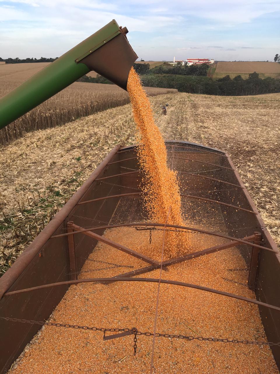 Colheita de milho em Marechal Cândido Rondon (PR). Envio deElton Hollmann.