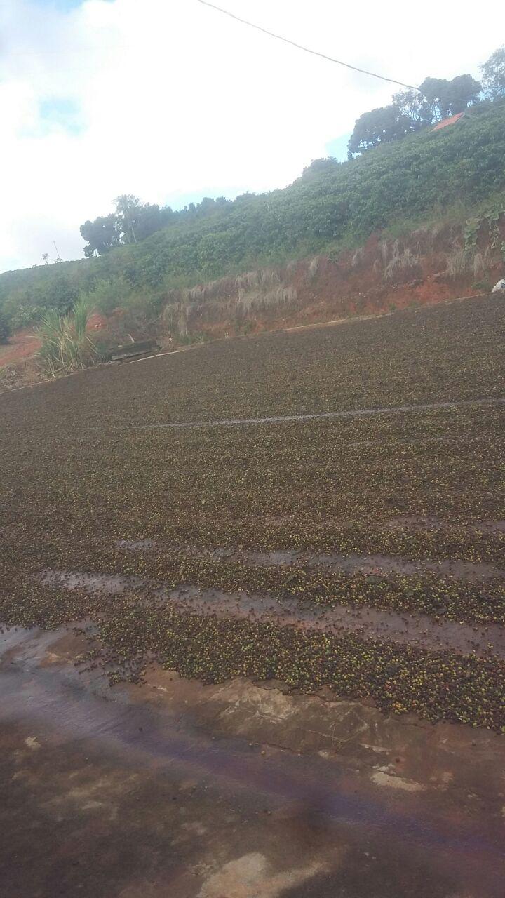 Café no terreiro afetado pelas chuvas - Foto: Maicon Tadeu