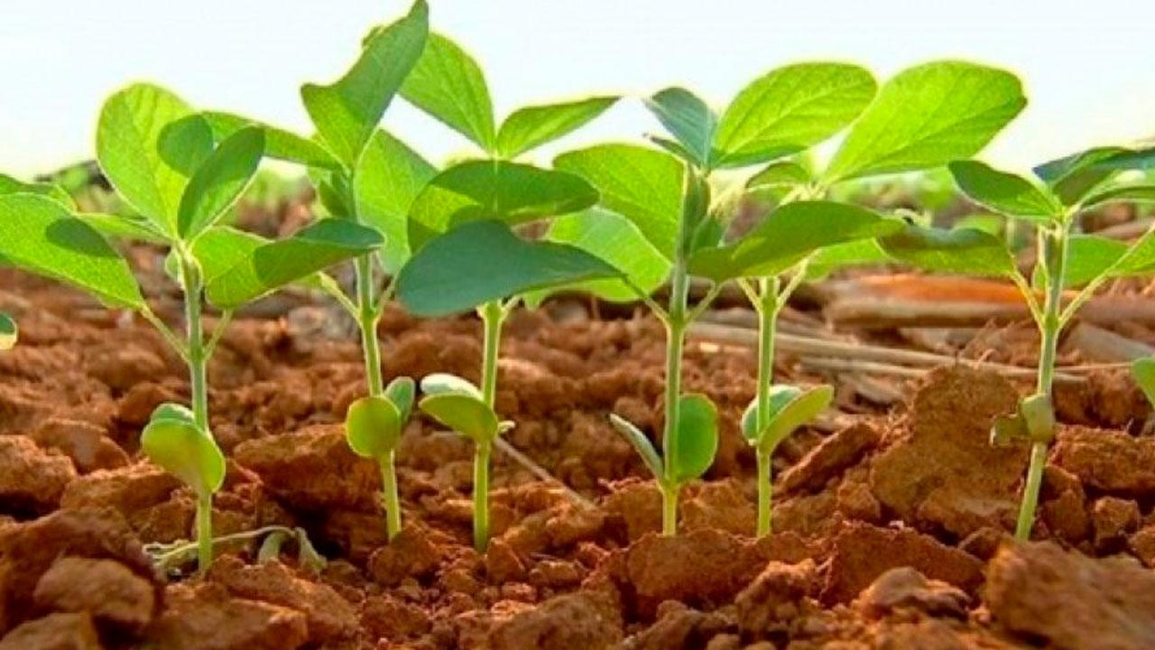 Semeadura da soja está irregular, assim como as chuvas, em Balsas/MA - Notícias Agrícolas