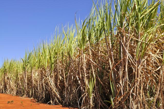 Cana-de-açúcar - Foto: Embrapa/Divulgação