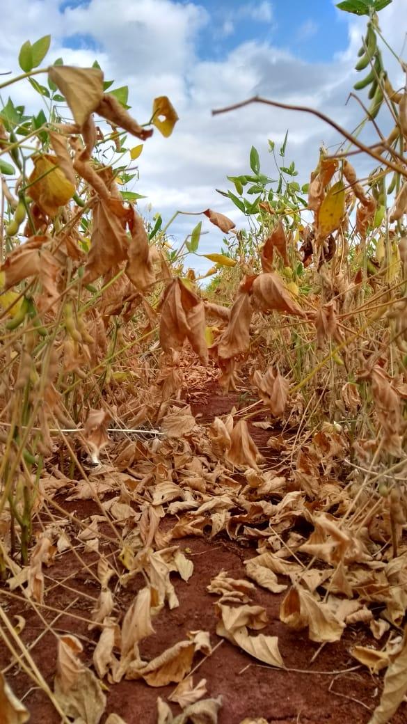 Seca e altas temperaturas prejudicando as lavouras em Japurá (PR). Envio de Roberto Pasian