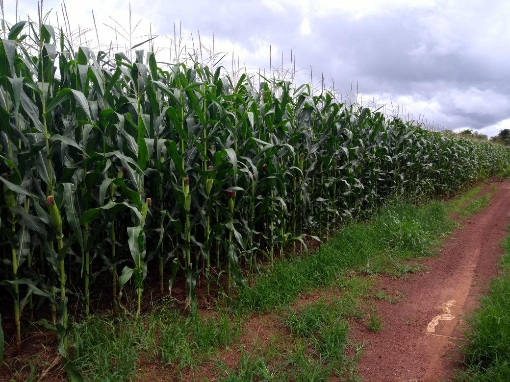 Milho safrinha na Fazenda Morro da Alegria em Balsas (MA). Envio de Clodoaldo de Césaro