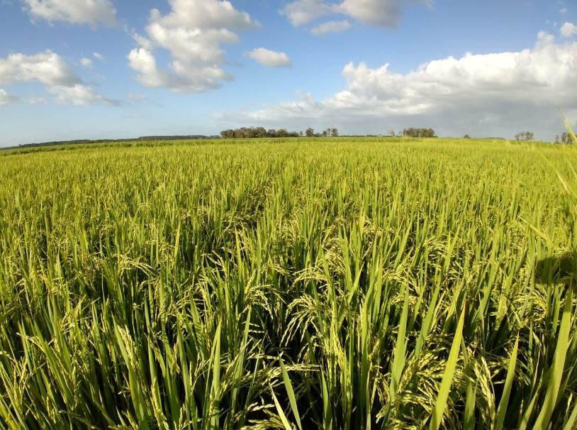 Arroz irrigado, 10.000 kg/ha em Pelotas (RS). Envio de Guilherme Levien -