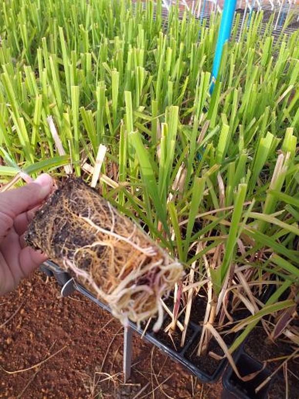 Produção de Mudas de Cana de Açúcar em Chapadão do Sul (MS). Envio de Letícia Vieiras