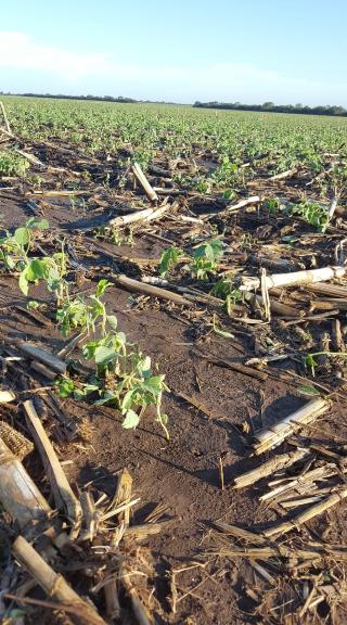 Danos causados por granizo em soja e milho na província de Córdoba, Argentina (Fonte: Twitter da @BCCBA)