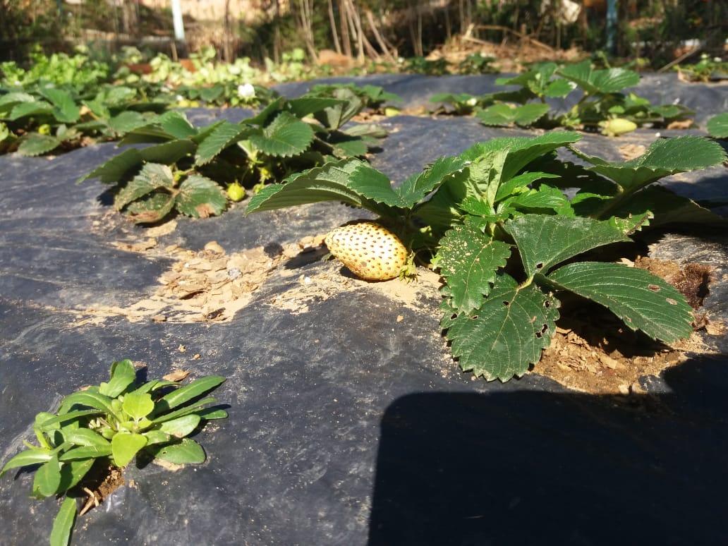 Começando a plantação de morangos em Itaiópolis (SC). Envio de Paulo Marcelo Adamek