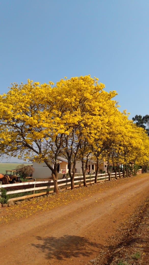 Ypes amarelo, Fazenda Itália em Ivaí (PR). Envio de Éder Salvadori