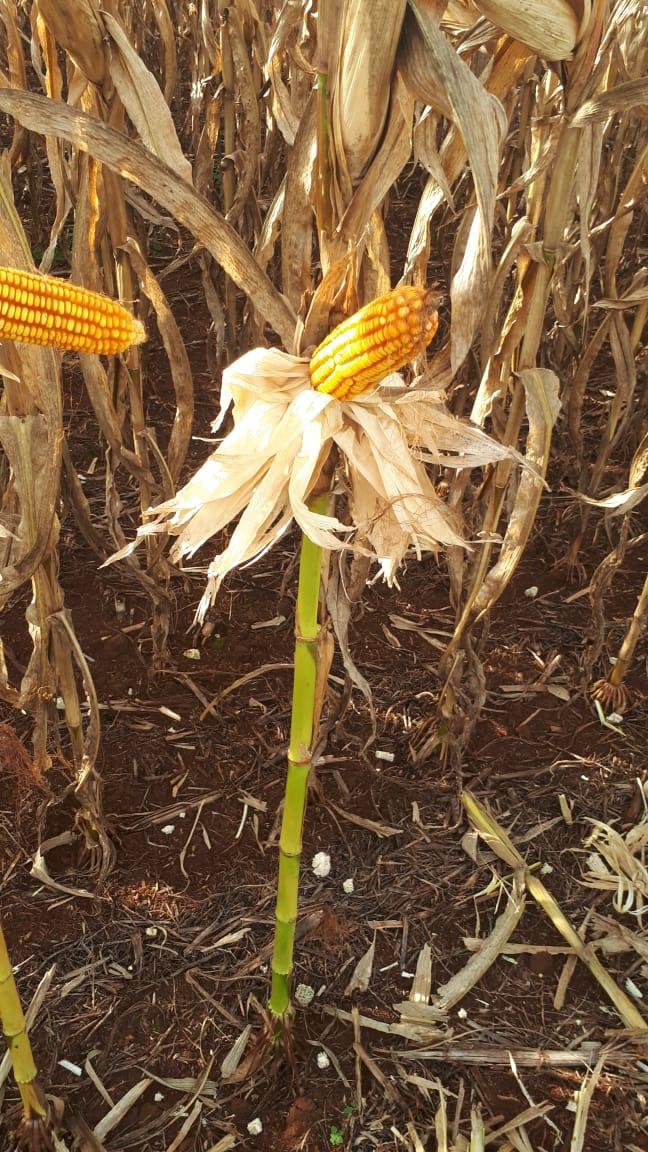 Colheita de milho, propriedade Airton Groff, na cidade de Guaíra (PR). Envio de Marta Wenzel.