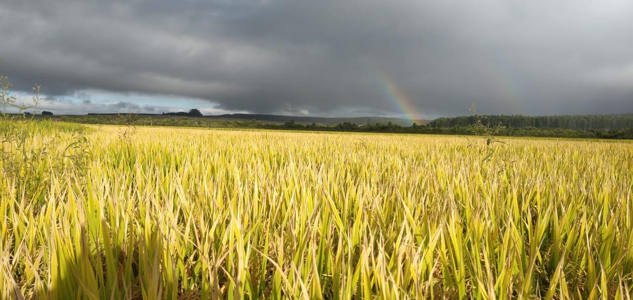 Lavoura de arroz pronta para a colheita em Rosário do Sul (RS) - Jaderson Arigony