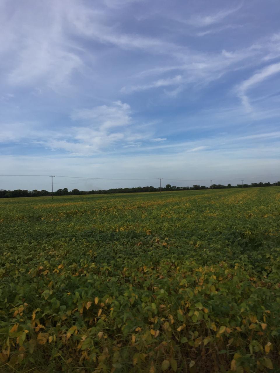 Soja para semente, no sistema de sub-irrigação da Agro Nova Aliança (Família Gasparetto) em Lagoa da Confusão (TO). Envio de Guilherme Santaretto