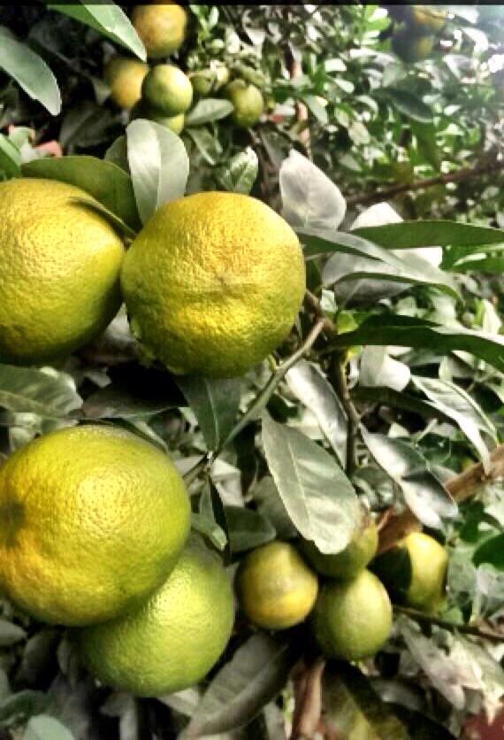 Imagem do Dia - Safra de limão em Luziânia (GO), do produtor Márcio Ribeiro. Envio de Lucas Ribeiro