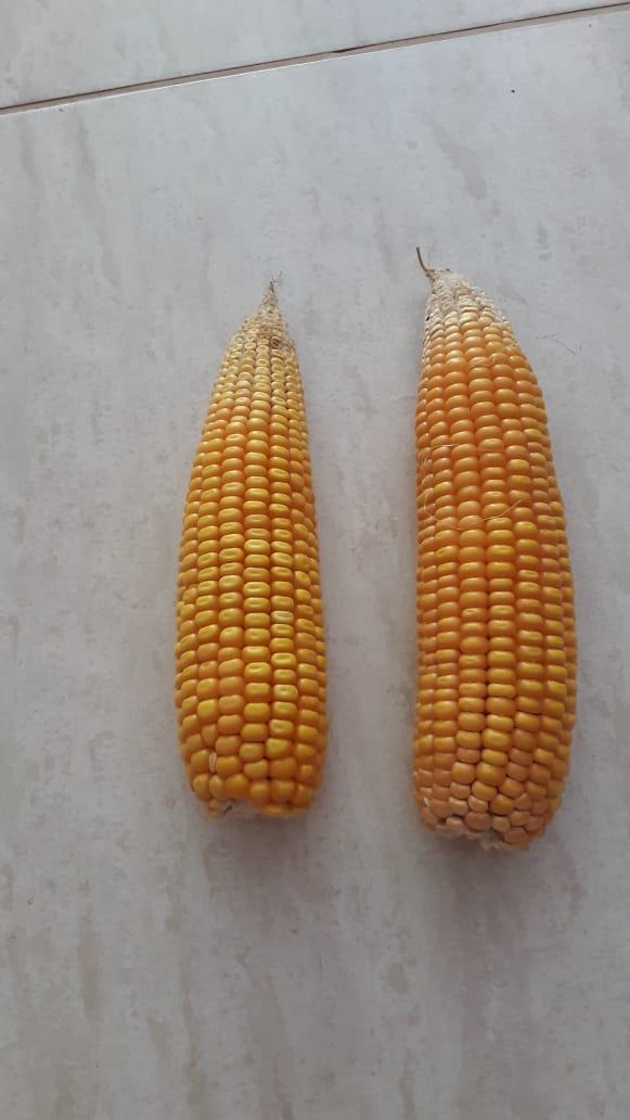 Efeito da estiagem no milho na região de Capanema (PR). Envio de Elecir Trevisan