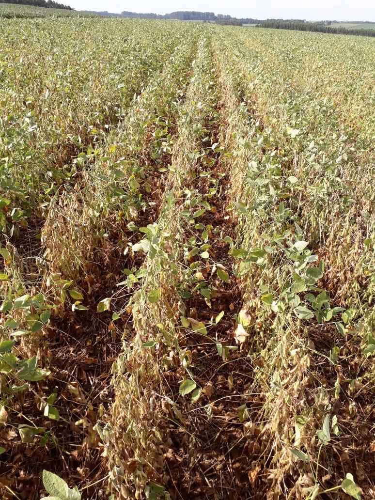 Lavouras de soja com alto percentual de perdas por Macrophomina Phaseolina e Phytophthora na Região de Naranjal, Paraguai. Envio do Eng. Agr. Cledison Conte