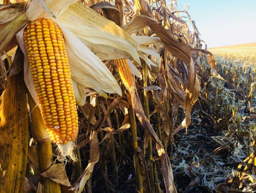 Dia de Campo de colheita de milho safrinha em Rio Verde (GO). Envio de Alex Zamonaro