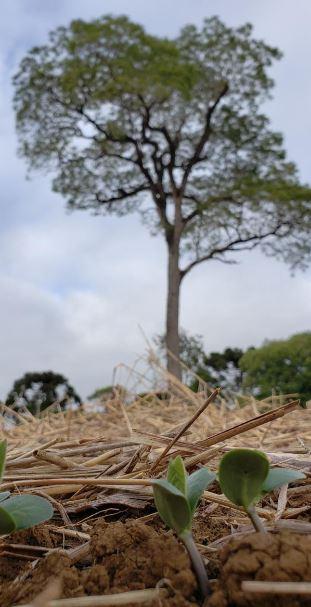 Soja com boa germinação em Ivaí (PR). Envio de Paulo Ângelo Blum