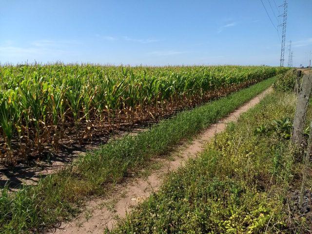 Lavouras de milho safrinha em Primavera do leste (MT). Envio de Jair Guariento