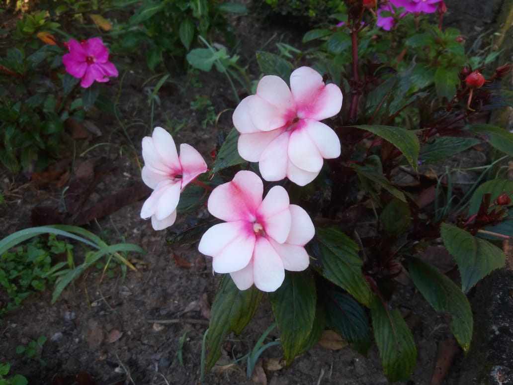 Flores em Itaiópolis (SC). Envio de Paulo Marcelo Adamek.