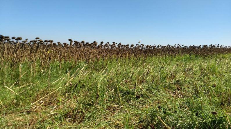 Colheita de Girassol na Fazenda Santo Antônio da Boa Vista em Luziânia (GO). Envio de Élcio sakai