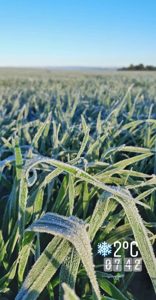 Geada na lavoura de trigo em Tapera (RS). Envio de André Wagner