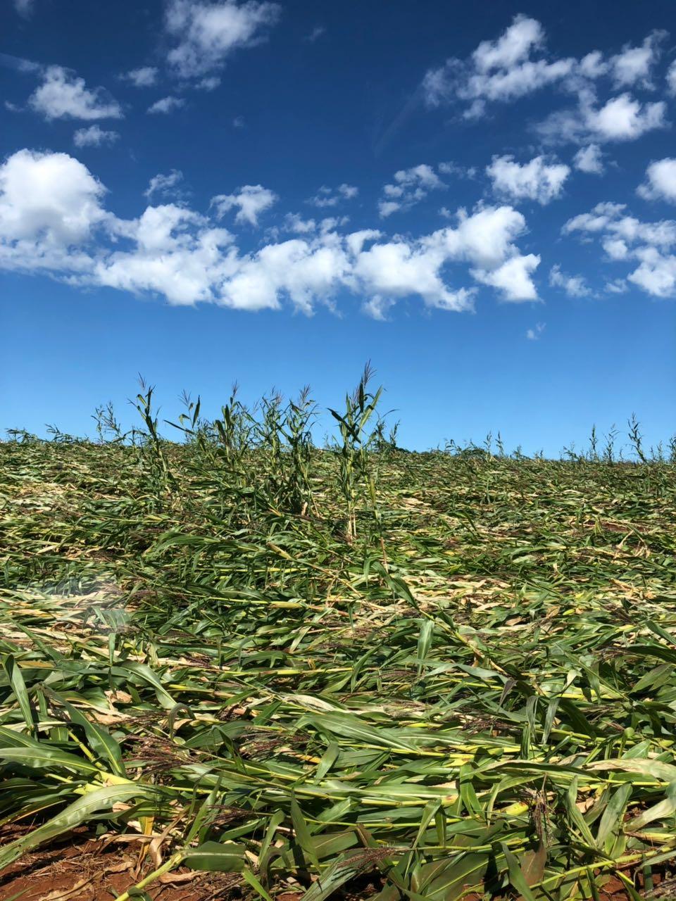 Milho afetado pelo vento e chuva em Peabiru (PR). Envio do técnico agrícola Gilmar