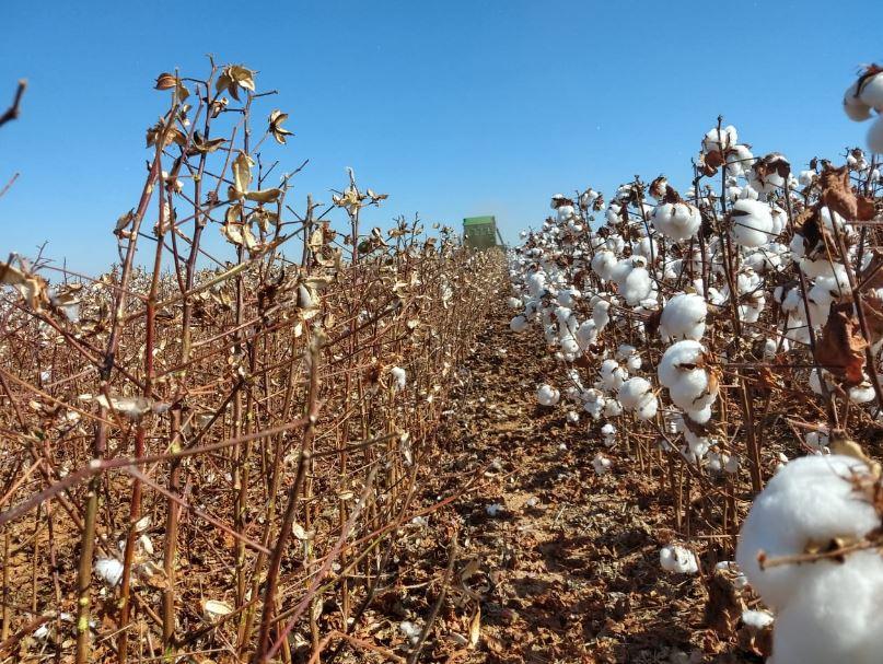 Colheita de algodão fazenda JK Masutti em Comodoro (MT). Envio do Agrônomo Laydson Mene