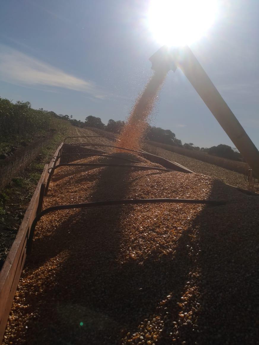 Inicio de colheita milho safrinha em Pato Bragado (PR).