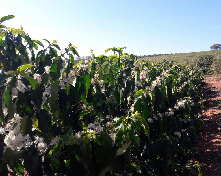 Florada de café semana passada em Botelhos (MG) Envio de Graziela Franco Moraes