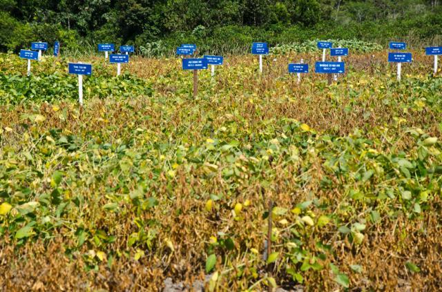 Ensaios em campo demonstram a potencialidade da soja na região da SEALBA