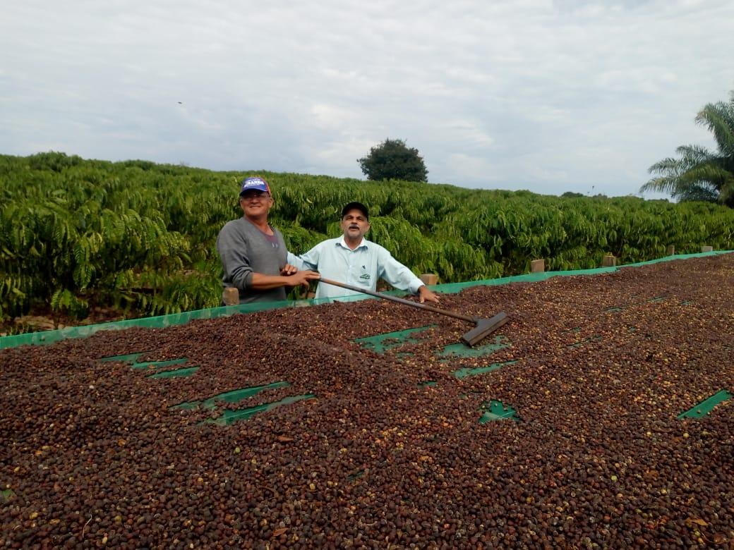 Colheita de café clonal, propriedade Zé Miranda, em Cerejeiras (RO). Envio de Mário José Milani