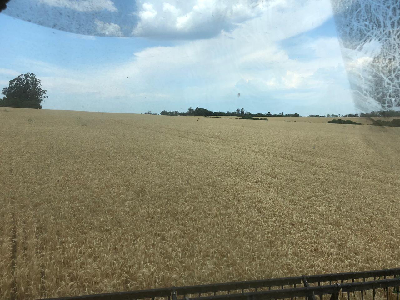 Colheita de trigo em São Borja (RS) Envio de Joca Daronch