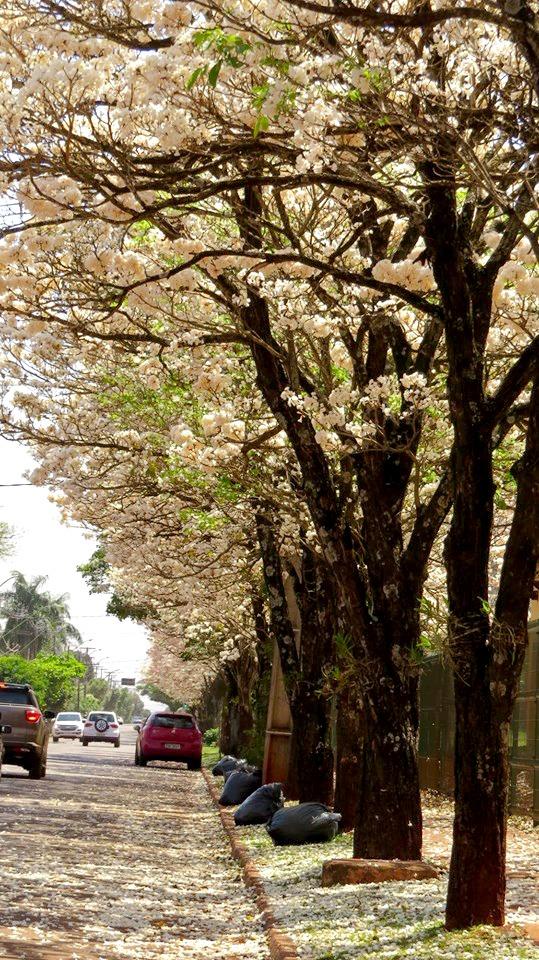 Florada dos Ipês Brancos no Complexo da UFPR Campus Palotina (PR). Envio de Edmilson Zabott