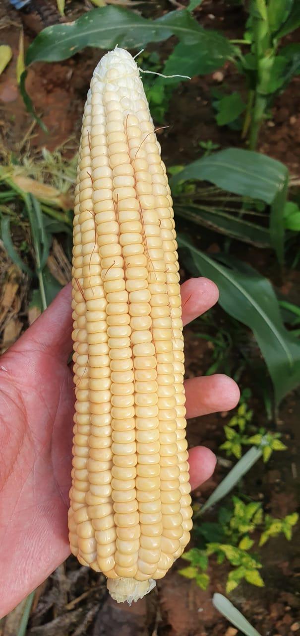 Safra de milho Sergipe