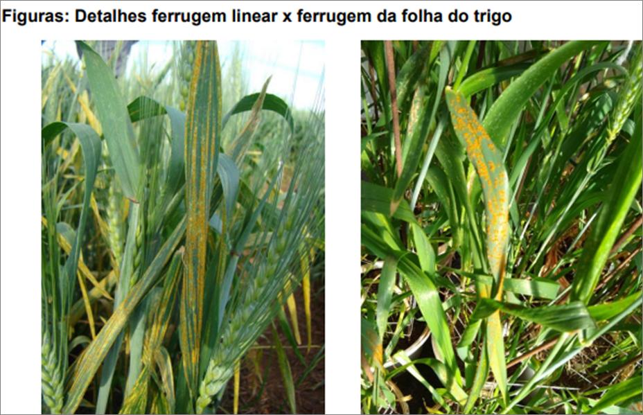 Identificação da Ferrugem Linear no Trigo - Embrapa Trigo