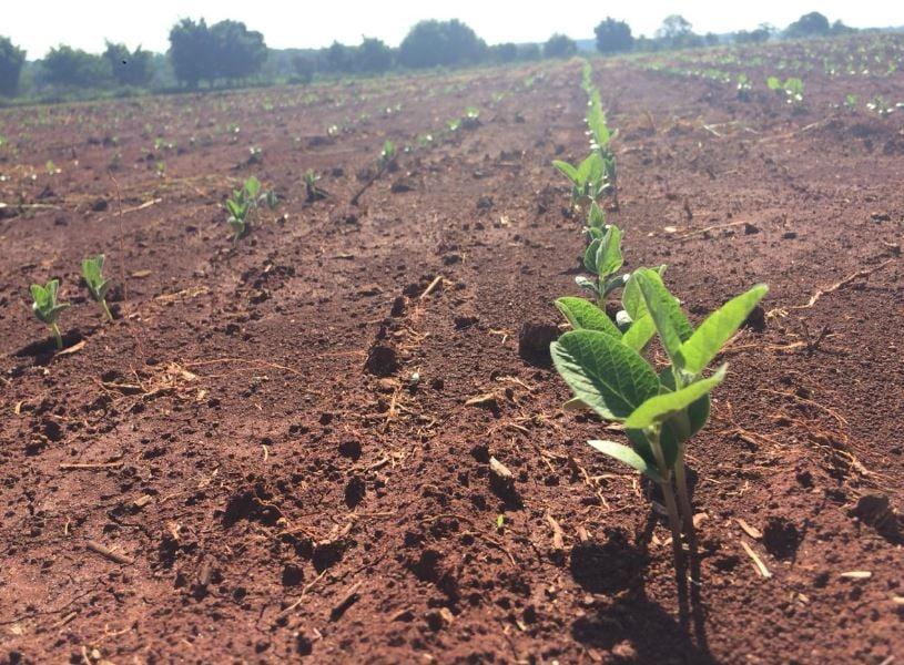 Fotos da soja no município de Terenos (MS). Envio do Eng.Agronomo Michael Soares