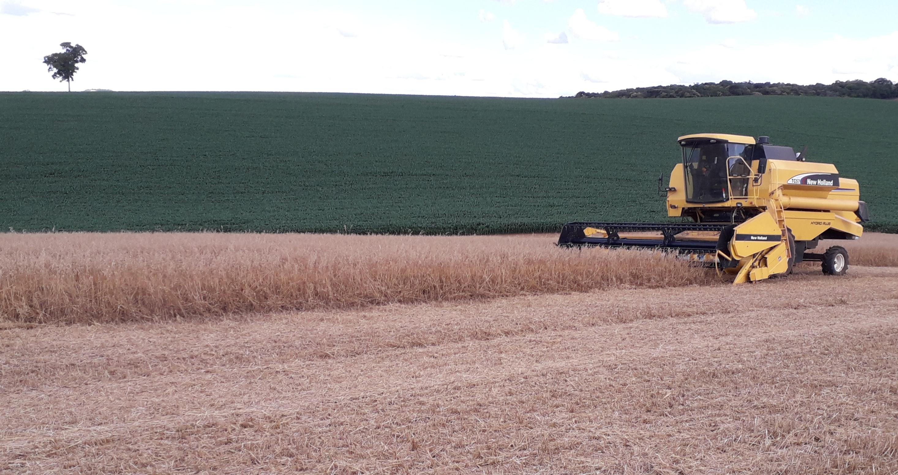 Colhendo aveia branca pra dar lugar a soja na lavoura de Walter Roman em Ibiaçá (RS)