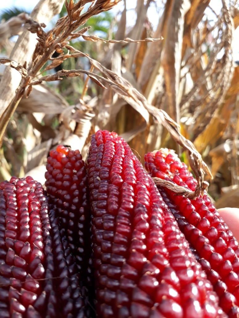 Colheita de pipoca Ruby Red, pronta para a etapa de secagem, apesar de sua casca ser de coloração vermelha, não se engane, ao estourar possui coloração extremamente branca. Agrofloresta Pedras Brancas. Envio de Leonardo Vanzin