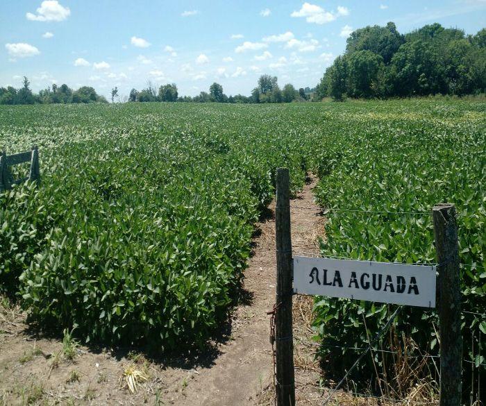 Argentina Safra 2016/17 - Área Victória-ER, lavouras aparentam estar bem mas as raízes muito superficiais pelo excesso de chuvas na fase inicial. Precisam de mais água, por incrível que pareça