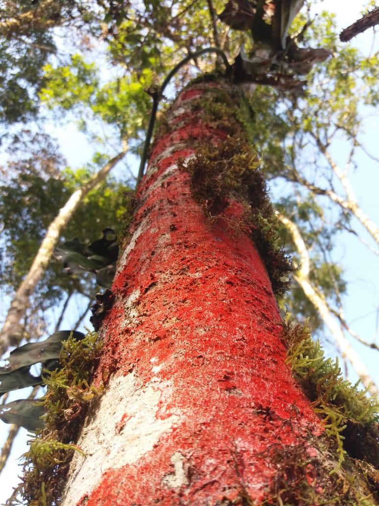 Caule de árvore com fungos em Itainópolis (SC). Envio de Paulo Marcelo Adamek